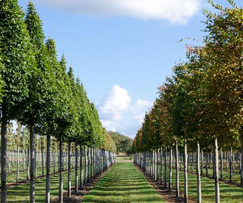 Drzewa alejowe