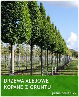 drzewa-alejowe-kopane-z-gruntu